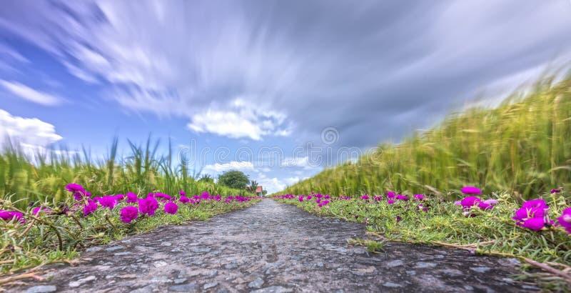 Flor grandiflora de Portulaca que floresce na terra da borda da estrada imagens de stock