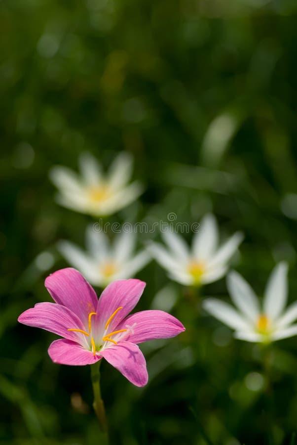 Flor grandiflora de Zephyranthes fotografia de stock