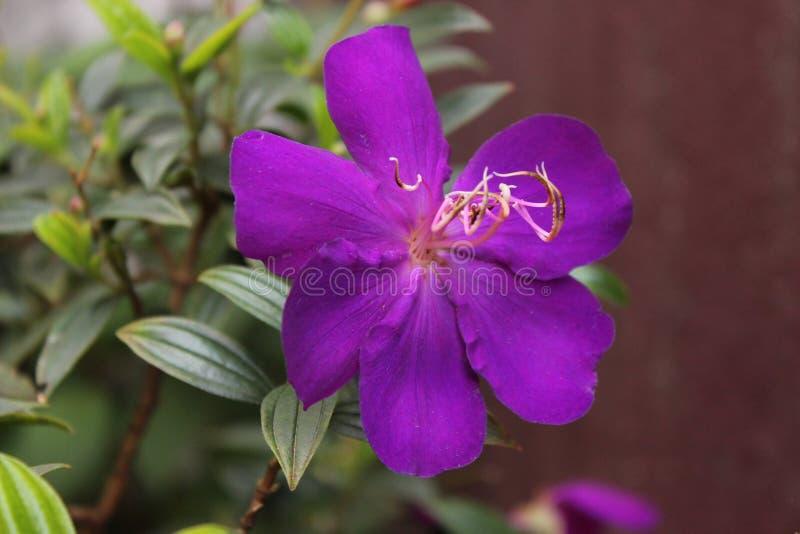 Flor híbrida imagen de archivo