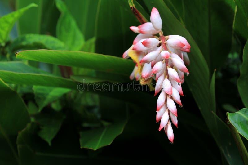 Flor havaiana do gengibre de shell imagens de stock