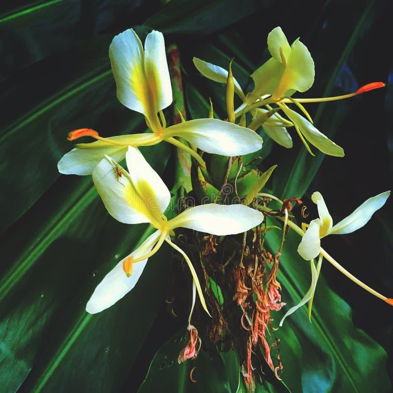 Flor hawaiana imagenes de archivo