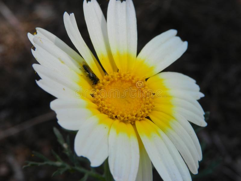 Flor HD da margarida fotos de stock