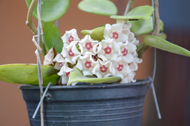 Flor hermosa de Hoya en jardín de la naturaleza imagenes de archivo