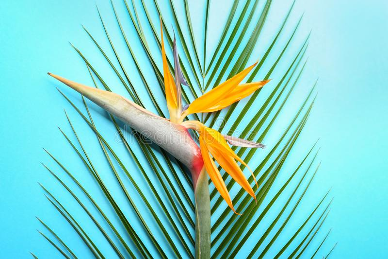 Flor hermosa de la ave del paraíso y hoja tropical en fondo del color foto de archivo libre de regalías