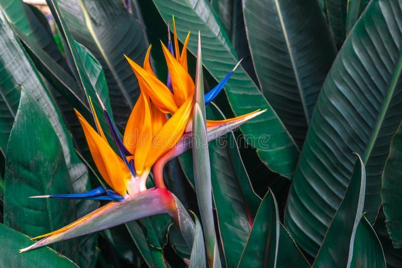 Flor hermosa de la ave del paraíso y x28; Reginae& x29 del Strelitzia; con el fondo verde de las hojas en jardín tropical fotos de archivo