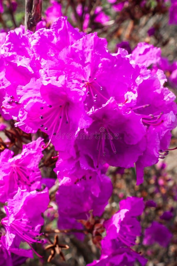 Flor hermosa de la azalea en un jard?n foto de archivo