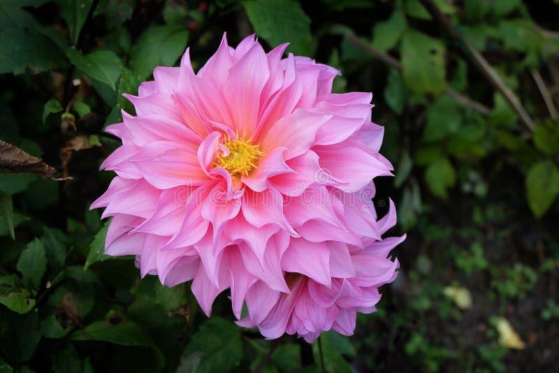 Flor hermosa de la dalia fotografía de archivo libre de regalías
