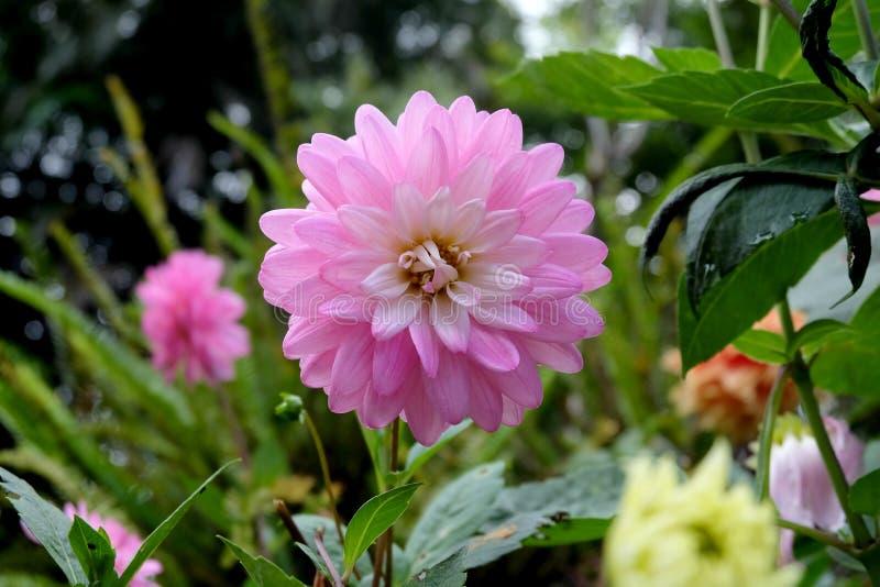 Flor hermosa de la dalia imágenes de archivo libres de regalías