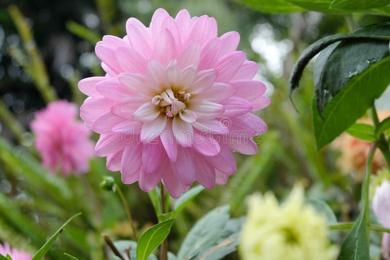 Flor hermosa de la dalia fotos de archivo libres de regalías