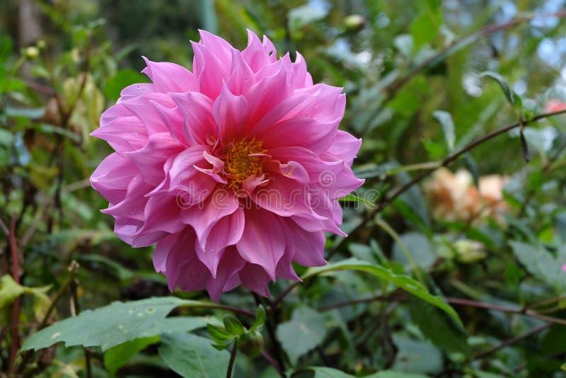 Flor hermosa de la dalia foto de archivo