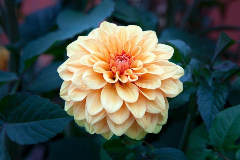 Flor hermosa de la dalia dentro del jardín botánico de Singapur fotos de archivo libres de regalías