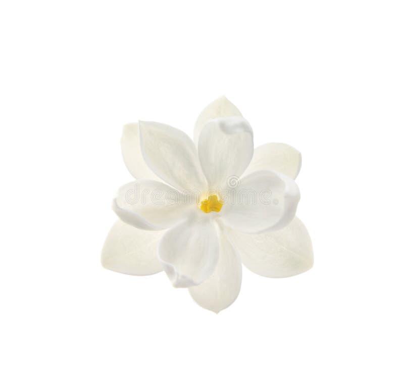 Flor hermosa de la lila fotos de archivo libres de regalías