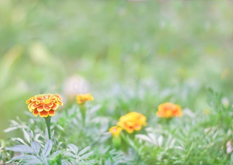 Flor hermosa de la maravilla o flor del calendula en el jardín en foco verde del solf del fondo fotos de archivo