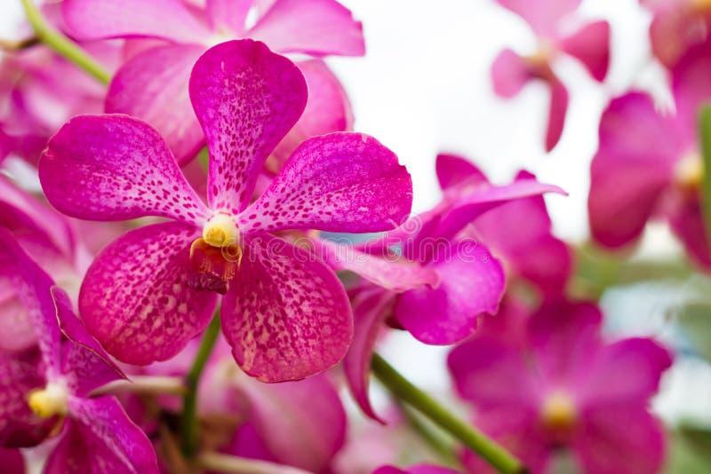 Flor hermosa de la orquídea, orquídeas violetas Orqu?dea en jard?n tropical Orqu?dea en naturaleza fotografía de archivo libre de regalías
