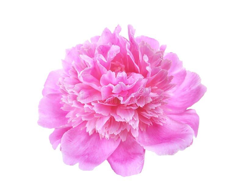 Flor hermosa de la peonía en el fondo blanco imagen de archivo