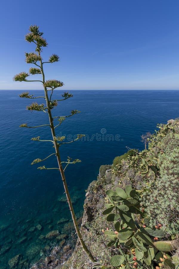 Flor hermosa de las plantas del agavo y del higo chumbo que pasan por alto el mar de Cinque Terre, Liguria, Italia fotografía de archivo
