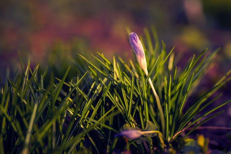 Flor hermosa del azafrán tirada con un cierre macro de la lente para arriba con una pequeña web de araña en la extremidad de los  fotos de archivo
