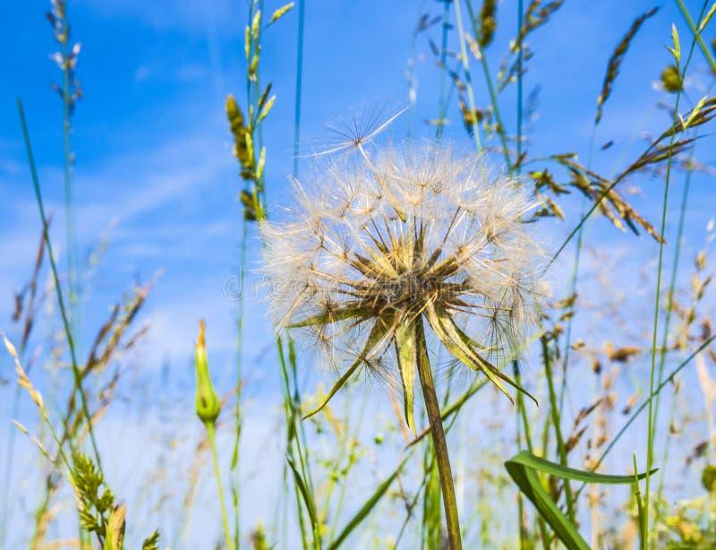 Flor hermosa del blowball imagenes de archivo