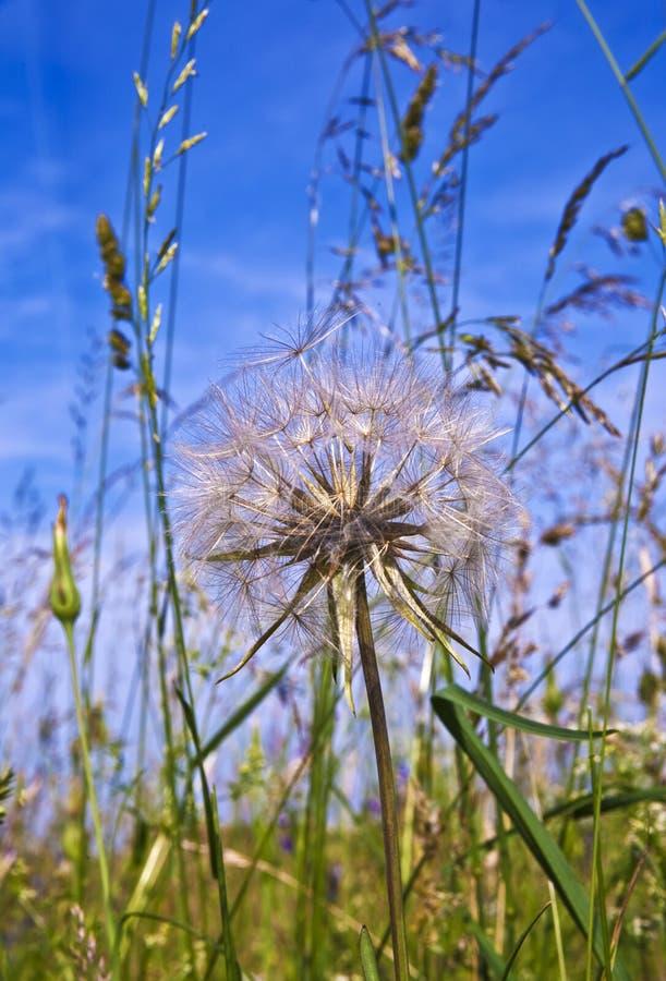 Flor hermosa del blowball imagen de archivo
