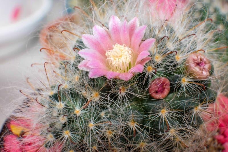 Flor hermosa del cactus con el foco selectivo fotografía de archivo