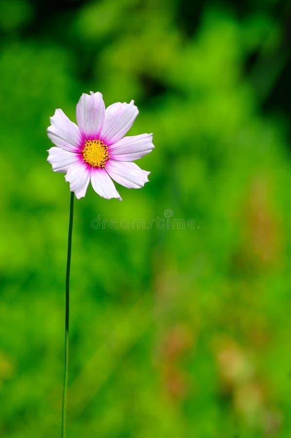 Flor hermosa del cosmos imagenes de archivo