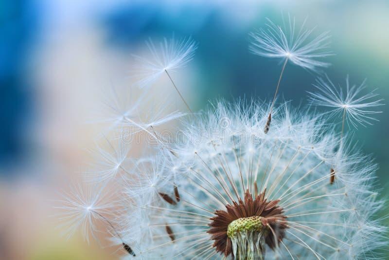 Flor hermosa del diente de le?n con las plumas del vuelo en fondo colorido del bokeh Tiro macro de la escena de la naturaleza del imagenes de archivo
