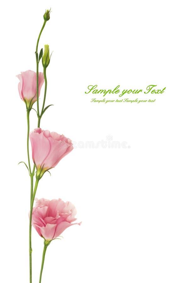 Flor hermosa del eustoma aislada en blanco imagen de archivo libre de regalías