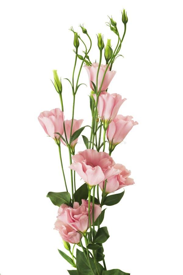 Flor hermosa del eustoma aislada en blanco fotos de archivo libres de regalías
