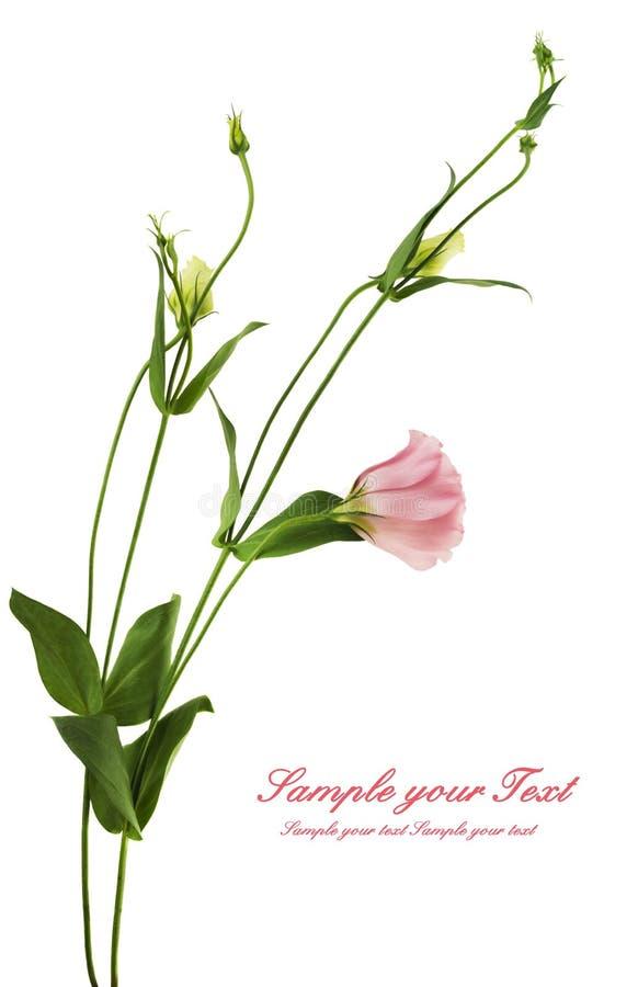 Flor hermosa del eustoma aislada en blanco fotografía de archivo