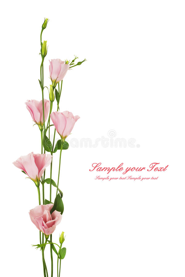 Flor hermosa del eustoma aislada en blanco foto de archivo libre de regalías