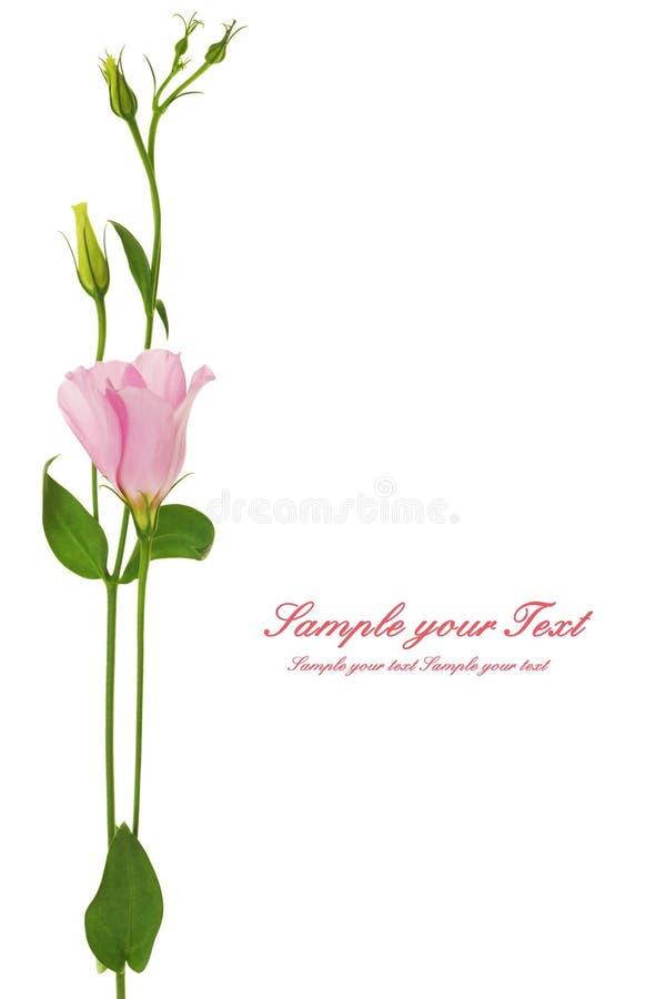 Flor hermosa del eustoma aislada en blanco imágenes de archivo libres de regalías