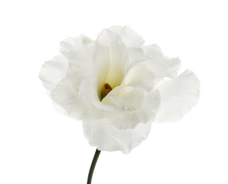 Flor hermosa del eustoma en el fondo blanco foto de archivo
