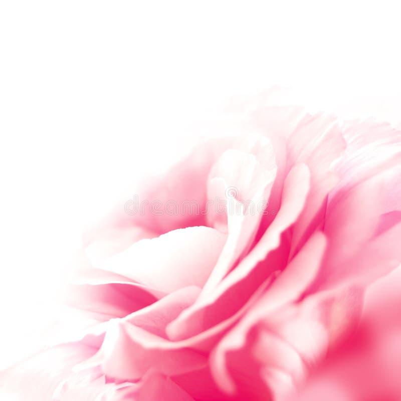 Flor hermosa del Eustoma en el fondo blanco fotografía de archivo libre de regalías