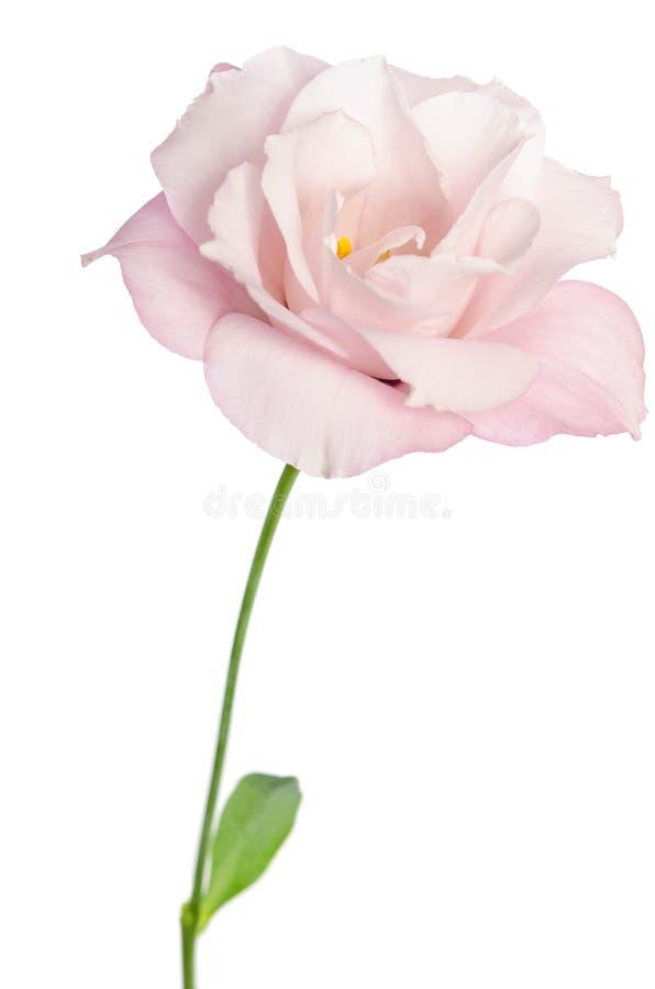 Flor hermosa del eustoma en el fondo blanco imagen de archivo libre de regalías