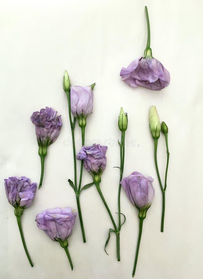 Flor hermosa del Eustoma del purpl en el fondo blanco, primer foto de archivo