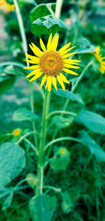 Flor hermosa del girasol en naturaleza imagen de archivo libre de regalías