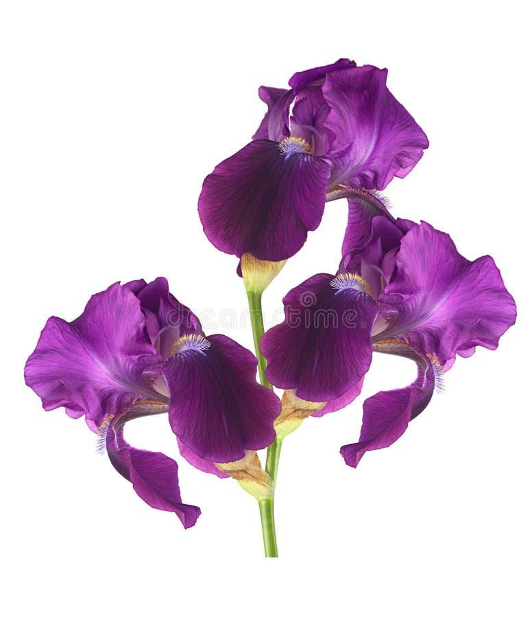 Flor hermosa del iris en el fondo blanco para los diseñadores imágenes de archivo libres de regalías