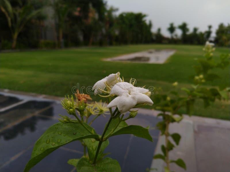 Flor hermosa del lirio en monzón imagen imagen de archivo