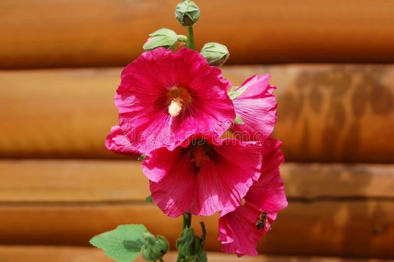 Flor hermosa del malva fotos de archivo