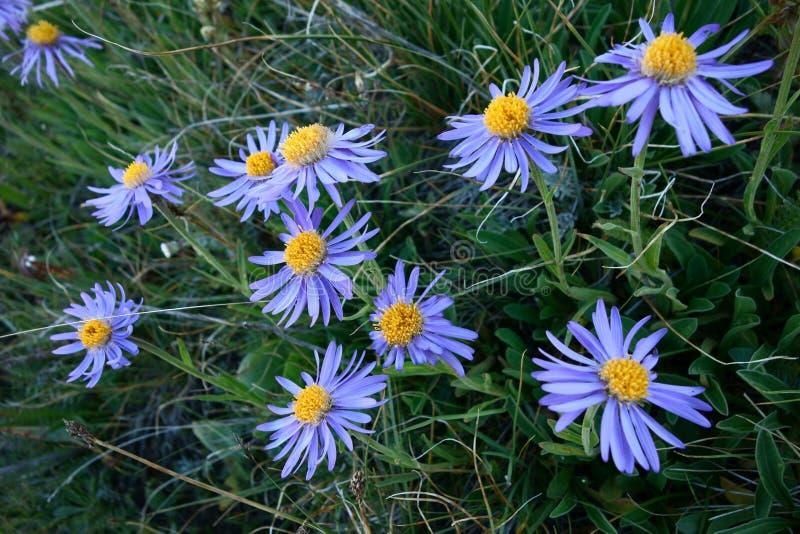 Flor hermosa del Pamirs septentrional fotografía de archivo
