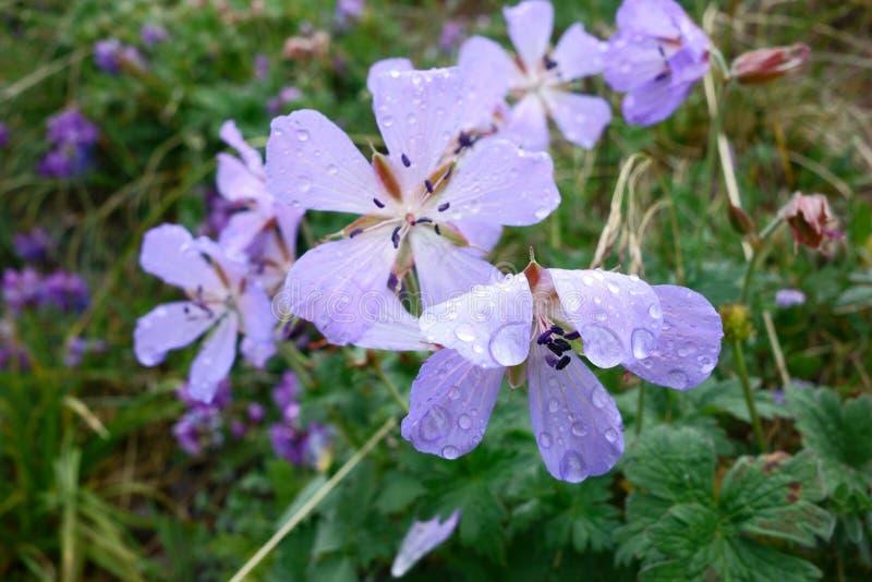Flor hermosa del Pamirs septentrional fotos de archivo