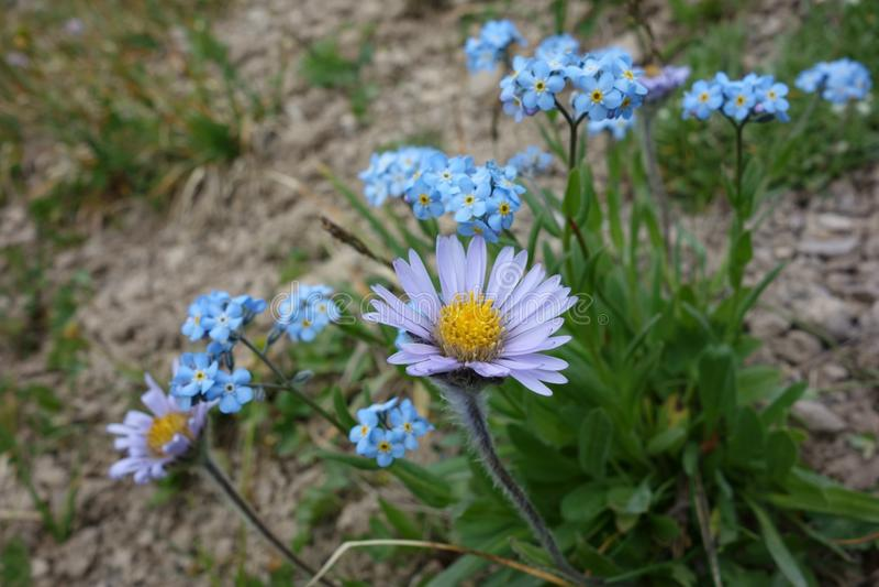 Flor hermosa del Pamirs septentrional imagen de archivo