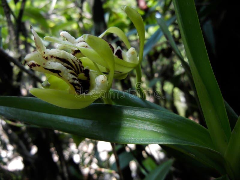 Flor hermosa del primer de la orqu?dea del cristata de Vanda con las hojas imagenes de archivo