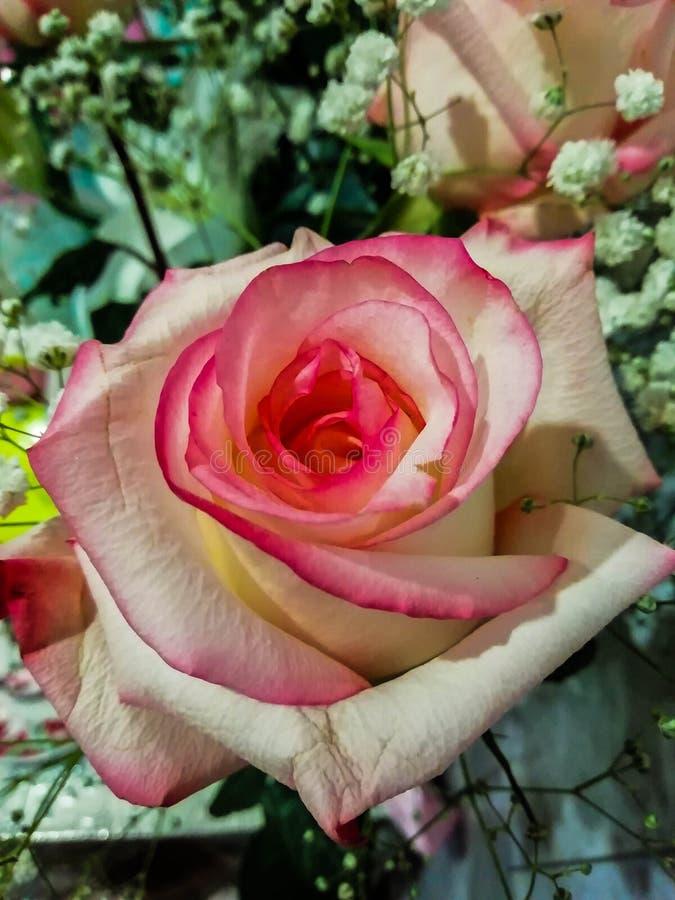 Flor hermosa en la ventana en un rosse del día soleado fotografía de archivo