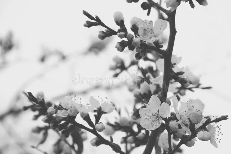 Flor hermosa, estación de Sakura y flor de cerezo en Japón y x28; sof fotografía de archivo