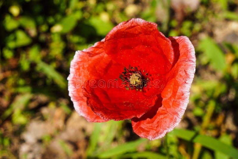 Flor hermosa roja el parque imagenes de archivo