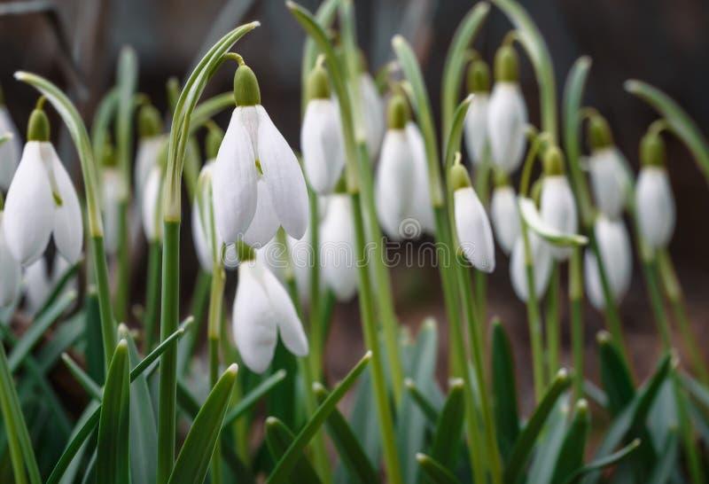 Flor hermoso de Galanthus hacia fuera en un jardín de la primavera fotografía de archivo libre de regalías