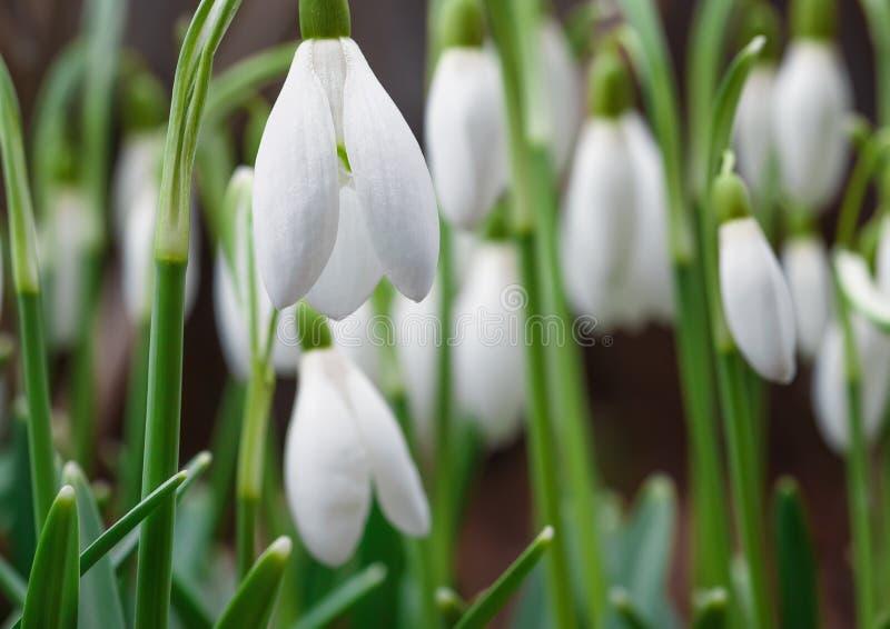 Flor hermoso de Galanthus hacia fuera en un jardín de la primavera imagen de archivo libre de regalías