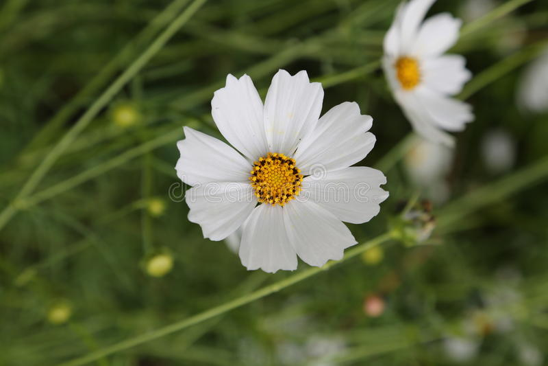 Flor hermoso de la margarita blanca en verano fotos de archivo