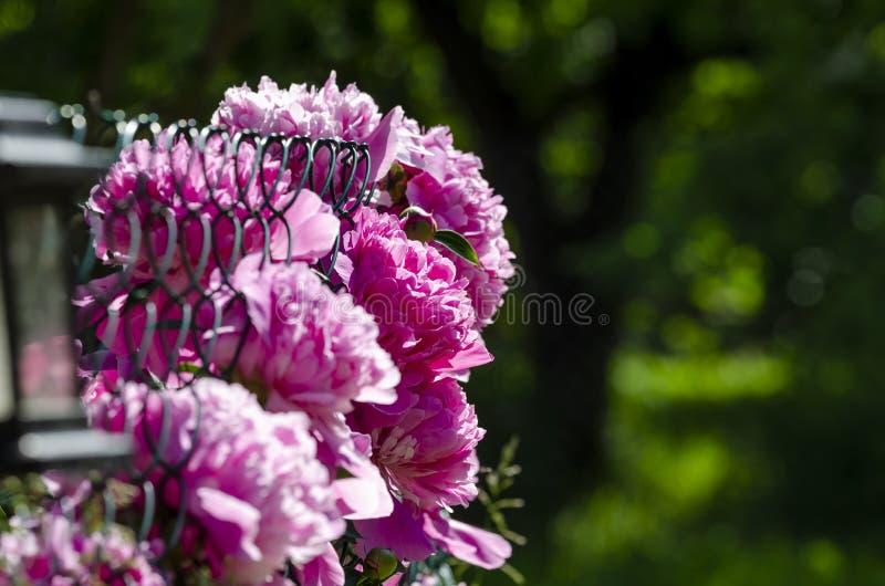 Flor hermoso de la peonía china en jardín fotografía de archivo